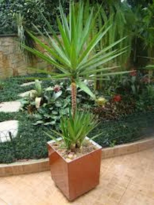 Planta rafia related keywords planta rafia long tail - Plantas de exterior resistentes al sol ...